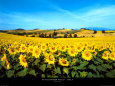 Sonnenblumen Poster