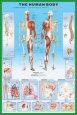 Menneskekroppen Plakat