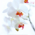 White and Pink Orchid Art Print by Cédric Porchez