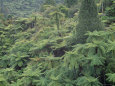 Punga, Tree Ferns, in the Bush, Wanganui District, Taranaki, North Island, New Zealand Photographie par Jeremy Bright