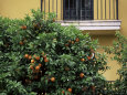 Orange Tree Outside House, Triana Quarter, Seville, Andalucia, Spain Photographic Print by Jean Brooks