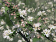 Apple Trees in Blossom, Normandy, France Fotografiskt tryck av Guy Thouvenin
