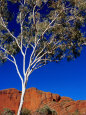 Gum Tree at Bungle Bungles, Purnululu National Park, Western Australia Photographic Print by John Banagan
