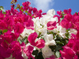 Bougainvillea, Cayman Brac, Cayman Islands, Caribbean Photographic Print by Greg Johnston