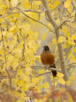 Male American Robin in Aspen Tree, Grand Teton National Park, Wyoming, USA Photographic Print by Rolf Nussbaumer