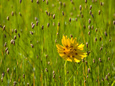 Grass Heads and Lone Coreopsis Flower Near Industry, Texas, USA Fotografie-Druck von Darrell Gulin