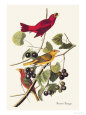 Summer Tanager Premium Poster by John James Audubon
