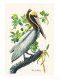 Brown Pelican Premium Poster by John James Audubon