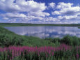 Fireweed, Lake and Clouds Reflecting in a Lake, Alaska Fotografisk tryk af Rich Reid