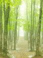 Beech Forest Fotografisk tryk