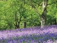 Bluebells in Woods, Springtime Fotografisk tryk af Jon Arnold
