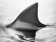 Shark Fin Photographic Print by Howard Sokol