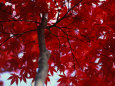 Close View of Red Maple Leaves Fotografisk tryk af Al Petteway