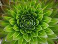 A Giant Lobelia Plant Lámina fotográfica por George F. Mobley