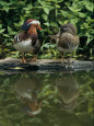Photographies de canards Posters