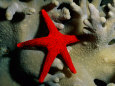 A Brilliant Red Starfish Rests on a Coral Fotografisk trykk av Wolcott Henry