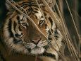 A Captive Tiger Shows a Formidable Expression Fotografisk tryk af Roy Toft