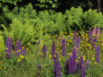 A Field of Ferns, Lupines and Other Wildflowers Photographic Print by Medford Taylor
