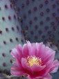 Flowering Beavertail Cactus, Arizona-Sonora Desert Museum, Arizona, USA Fotografisk tryk af Jamie & Judy Wild
