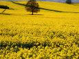 Field of Oil-Rape Seed, Spring, Harvington, United Kingdom Fotografisk tryk af Barbara Van Zanten