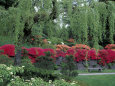 Japanese Garden Rhododendrons in Washington Park Arboretum, Seattle, Washington, USA Photographie par Jamie & Judy Wild