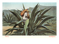 Man Harvesting Maguey Juice for Tequila, Mexico Lámina giclée