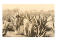 Natives on Maguey Plantation, Mexico Giclée-tryk