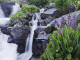 Mountain Stream and Wildflowers, Ouray, San Juan Mountains, Rocky Mountains, Colorado, USA Photographie par Rolf Nussbaumer