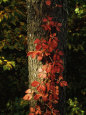 Virginia Creeper Vine in Autumn Colors, Climbing a Tree Trunk Fotografisk tryk af Raymond Gehman