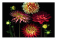 Dahlia Garden Giclee Print by Pip Bloomfield
