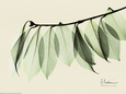 Sage Eucalyptus Leaves I Art Print by Albert Koetsier