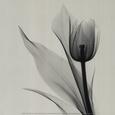 Blomster (sort/hvid-fotografi) Posters