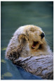 Sea Otters (Color Photography) Posters