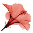 Røde blomster (farvefotografi) Posters