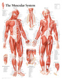 Muscular System Male Educational Chart Poster Plakát