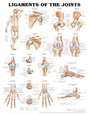 Ligaments of the Joints Anatomical Chart Poster Print Plakát