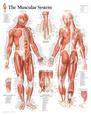 Muskler Posters