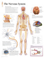 The Nervous System Educational Chart Poster Plakát