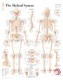 The Skeletal System Chart Poster Plakat