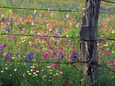 Fence Post and Wildflowers, Lytle, Texas, USA Fotografisk tryk af Darrell Gulin