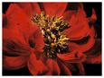 Červené květiny (barevná fotografie) Posters
