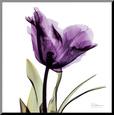 Royal Purple Parrot Tulip Umocowany wydruk według Albert Koetsier