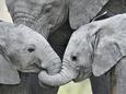 African Elephant Calves (Loxodonta Africana) Holding Trunks, Tanzania Fotografisk tryk