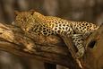Leopardos Posters