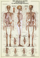 Skeletal System Poster