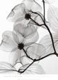 Nærbilleder af blomster (sort/hvid-fotografi) Posters