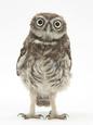 Portrait of a Young Little Owl (Athene Noctua) Fotografisk tryk af Mark Taylor