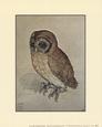 Little Owl Kunsttryk af Albrecht Dürer