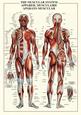 Lidské svaly Posters