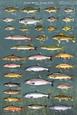 Balıklar Posters